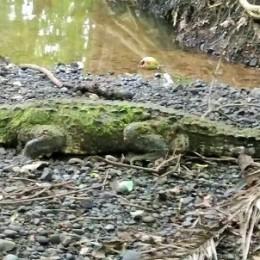 Paquera, Puntarenas: La presencia de un cocodrilo llamó la atención a propios y extraños en Playa Órganos el pasado sábado 03 de junio 2017