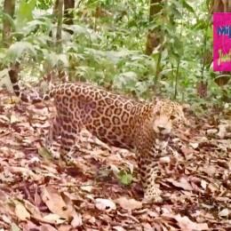 Cámaras capturan jaguar joven en Corcovado: El macho joven fue observado a través del monitoreo del Área de Conservación de Osa, uno de los sitios de mayor diversidad biológica del mundo