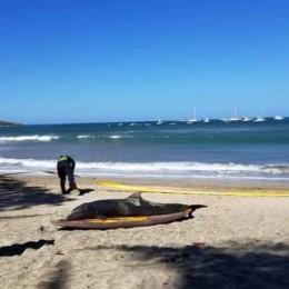 Guanacaste: Delfín falleció tras encallar en la playa en Tamarindo